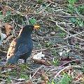 Kos na trawniku koło Domku Chińskiego #Puławy #ptak #ptaki #kos