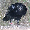 #kruk #ptaki
