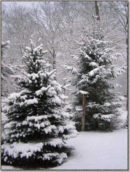 Nasze świerki pod pierzynką #zima #krajobrazy #rośliny #śnieg #drzewa #wieś
