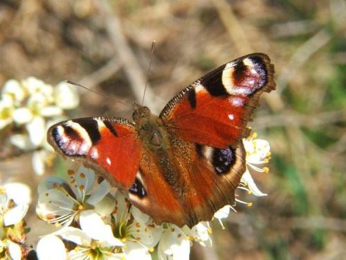 Motylek #motyl #owad #fauna