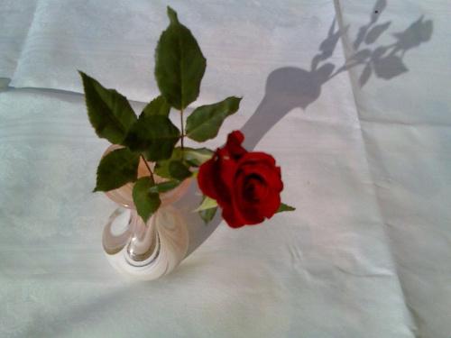 Róża mojej Róży