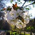 kwiaty dzikiej czereśni (Prunus avium L) wraz z żerującym na nich owadem #czereśnia #kwiat #przyroda