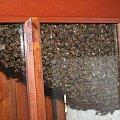 To co sie u mnie pojawilo pewnego pieknego dnia. Okolo 45tys pszczol urzadzilo sobie impreze w oknie sypialni :) #pszczoły #rój #insekty #owady