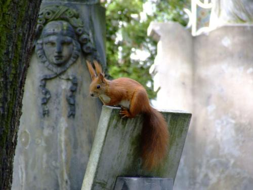 wiewiórka #ciekawe #MińskMazowiecki #NaPomniku #powązki #ruda #śmieszne #warszawa #wiewiórka #WiewiórkaNaPowązkach #ZKitą