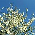 U mamy na działce #wiosna #wiśnia