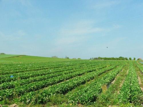 Truskawkowe pole #Trzcianki #truskawki #pole
