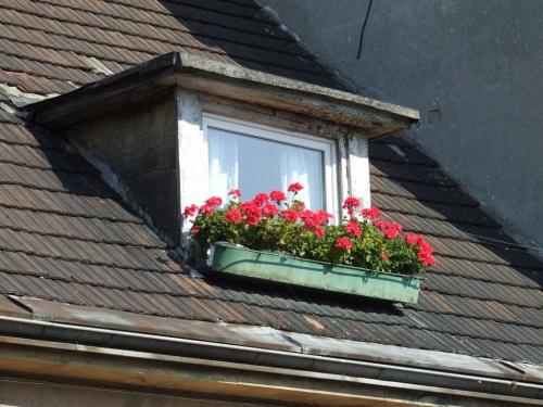 #dach #okno #pelargonie