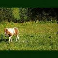 Kucyk Kwiatuszek na pastwisku, stadnina koni Sokolnik #koń #konie #natura #zwierzęta #krajobraz #krajobrazy #sokolnik #pastwisko #przyroda #kucyk #kucyki #kwiatuszek