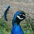 ARBORETUM #Arboretum #paw #Pawie #ptaki #Przemyśl #Podkarpacie #ogród #ogrody #morfeo