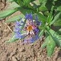 Chaber górski ( Centaurea montana L.) z trzmielem rudym ( Bombus pascuorum) #chaber #górski #bylina #trzmiel #bąk #owad #bombus