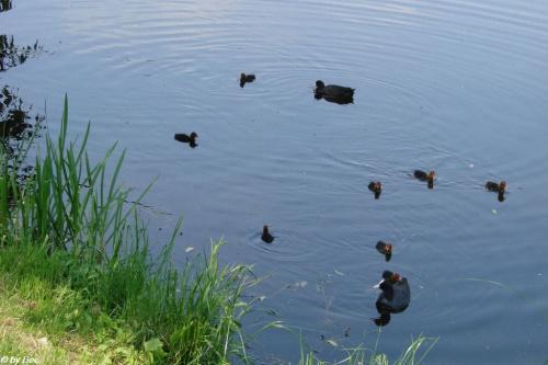 troskliwa rodzinka łysek z dziewięciorgiem potomstwa.. #ptactwo
