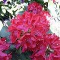 W moim ogrodzie. #rhododendron #kwiaty #MÓJODRÓD #ogród #przyroda #rośliny #wiosna
