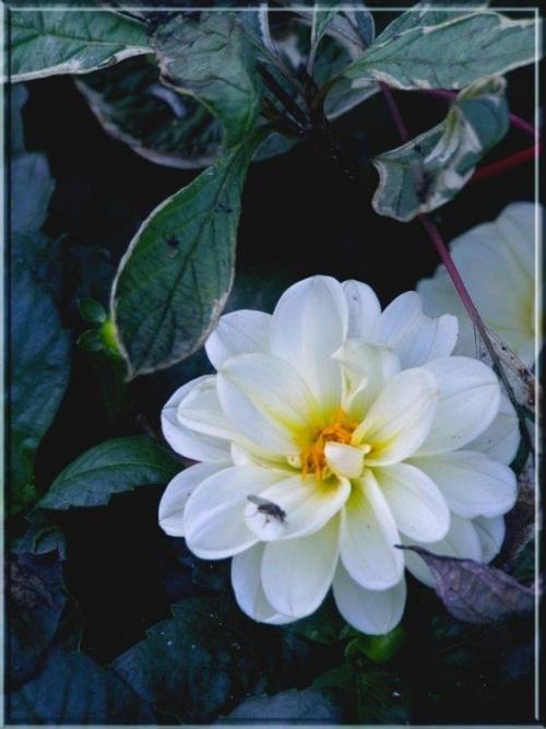 """rzekła dalia do muchy... hmmm...co by tu wymyślić, żeby się rymowało? """"ruchy mucho, ruchy"""" ? #kwiaty #natura #rośliny #ogrody #ogród #łąki #przyroda #flora"""