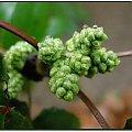 O, tu już prawie, prawie.... #flora #rośliny #zimozielone #kwiaty #natura #przyroda #PoryRoku