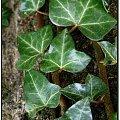 Eee, ten to całą zimę zielony. Miał szczęście, że go sarny nie zjadły... #flora #rośliny #zimozielone #natura #przyroda #PoryRoku